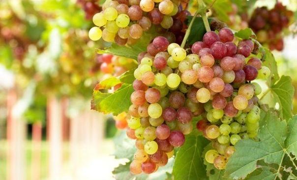 3 секрета богатого урожая винограда.