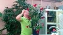 Дипладения - грамотный уход в период цветения