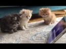 Pür Dikkat Şirinler İzleyen Yavru Kediler İ