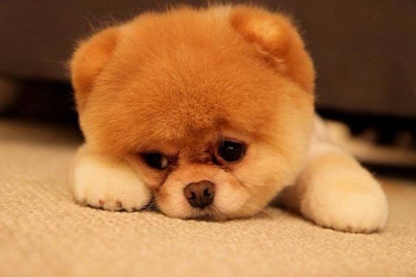 У собак обнаружили способности к сопереживанию