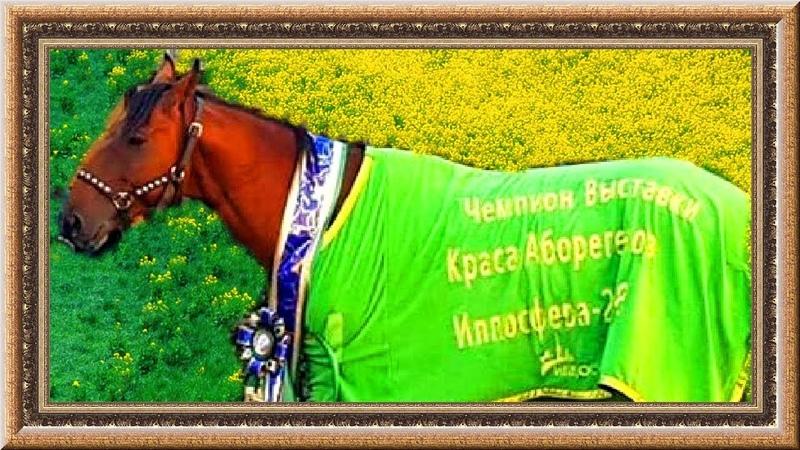 Чемпион конной выставки Краса аборигенов. Кабардинский конь.