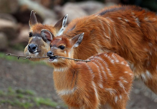 Детеныш антилопы играет с веткой.