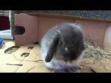 декоративный вислоухий кролик!!!Стёпа!