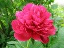 Китайцы называют пион Королем цветов или Феей цветов.  Так они выражают свое восхищение этим роскошным цветком.
