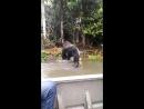 Вредная горилла