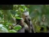 Капуцины из Коста-Рики засовывают пальцы друг другу в глаза