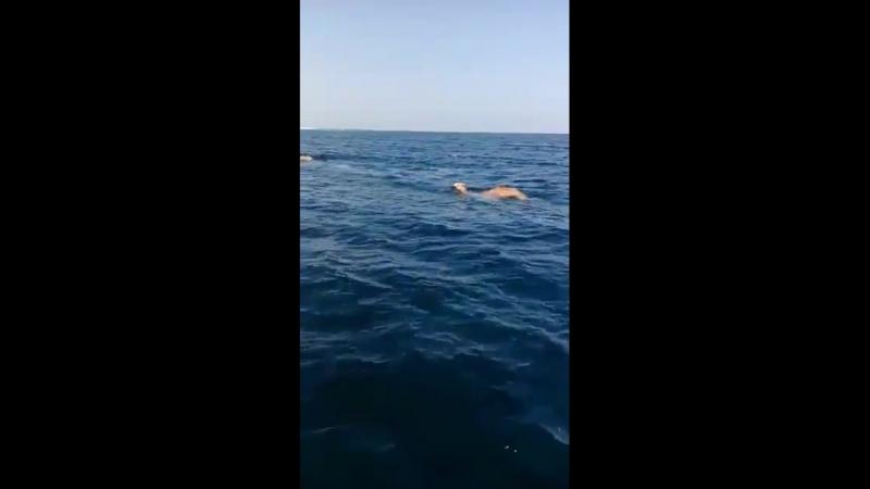 ...заплыв верблюдов в океане....