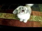 Коди - Собака лающая подобно крику человека)