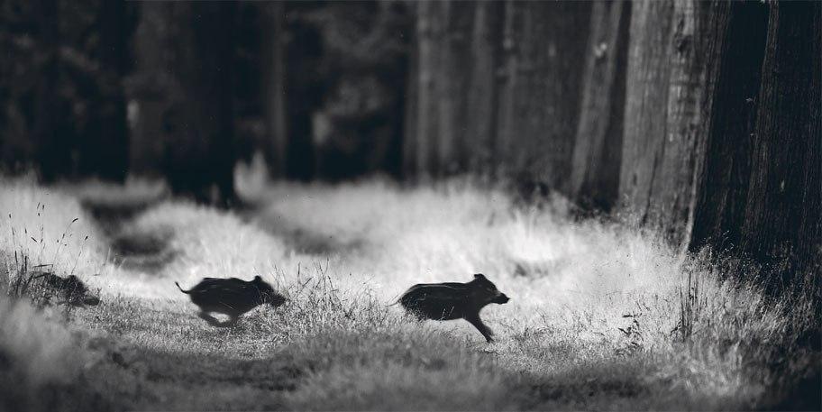 (Кабанята) Фото Марийн Хеутс