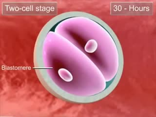 02 - Cleavage and blastocyst formation