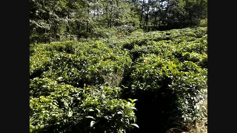 чайные плантации Дали