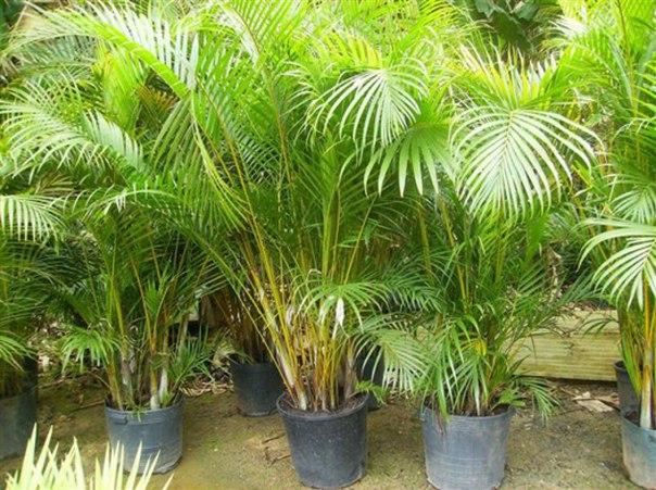 Пальмы выращивание из семян 76