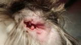 У 8-летнего кобеля ши-тцу неделю болит левое ухо. Почему Часть 2 An 8-year-old male Shih Tzu has left ear pain for a week. Why Pt 2