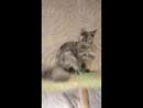 Мелиса - кошка, голубокремовая дымная черепашка