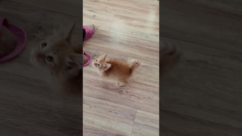 Рыжий голодный котенок