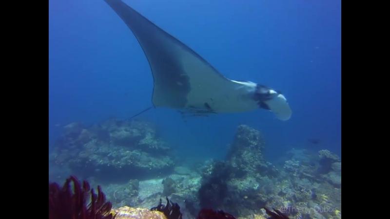 Гигантский океанический рэй (манта birostris) может вырасти до 7 м диска с весом около 3,000 кг