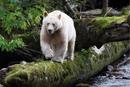 Кермод, или кермодский медведь — это подвид американского чёрного медведя…