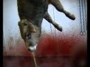 Забой скота в Испании