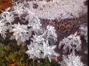 MOV0531A Второе дыхание цветника. Осенний цветник. , Цинерария Бархатцы