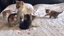 Золотистые шотландские вислоухие котята и кошка скоттиш фолд 2019 смешные коты и кошки