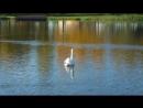 Черневский пруд, Южное Бутово, лебедь
