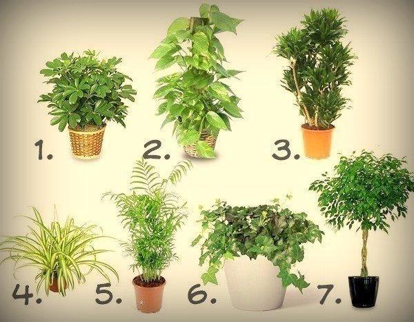 7 лучших растений для очистки воздуха внутри помещения: 1. Шеффлера (Schéfflera или Зонтичное дерево) — буквально создана для помещений, в которых курят. Она прекрасно «усваивает» и нейтрализует никотин и смолы, содержащиеся в табачном дыме. 2. Сциндапсус золотистый (Epipremnum aureum или Потос) очищает воздух от бензола. Обширные листья воспринимают большое количество этого вещества. Вырастает он быстро, а поливать его можно довольно редко. 3. Драцена (Dracaena) обезвреживает формальдегид.…