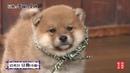 15代目豆助 オープニング 柴犬の子犬