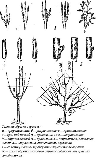 Обрезка вишни, формирование кроны