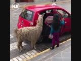 В Перу девушка вызвала такси для себя и своей альпаки