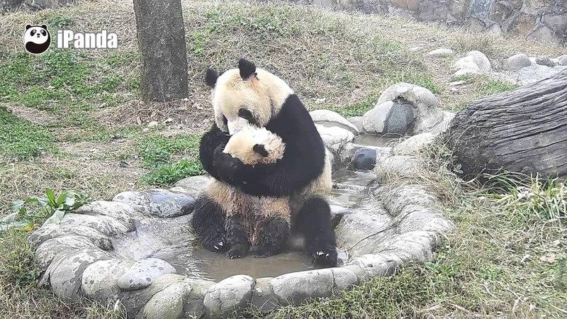 Мама-панда пытается искупать своего непоседу-малыша