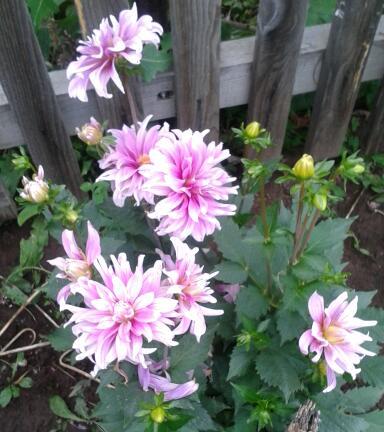 Цветы у Ликки M65qa8RsB4Y