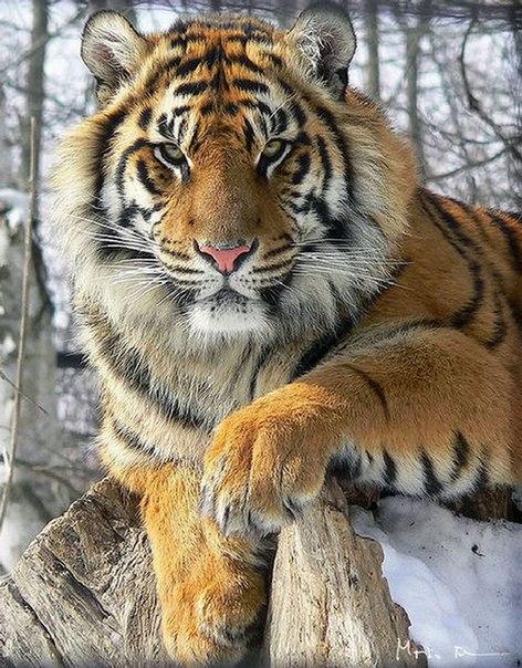 укус тигра фото