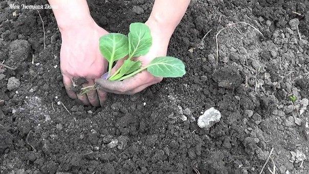 посадка капусты в первые дни мая в грунт высаживают рассаду ранней капусты. особое внимание при этом надо обратить на чередование культур. лучшие предшественники огурцы, лук. томаты, а также