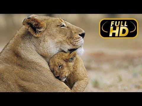 Последние Львы. Изгнанная Львица / FULL HD - Документальный фильм 2018 на Amazing Animals TV