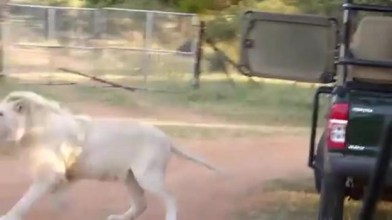 Un lion blanc saute dans la voiture des touristes en visite