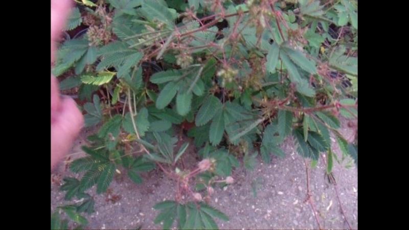 Стыдливая мимоза, в Батумском ботаническом саду.