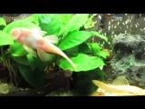 Сомики анциструсы и парчовые в аквасалоне зоомагазина