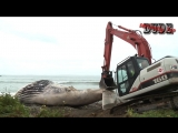 THE NASTY EXPLODING WHALE COMPILATION _ BURSTING GUTS INTESTINES _ EXPLODE DEAD CARCASS GAS BLOW UP