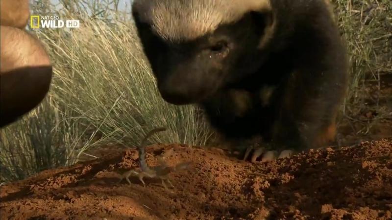 История одного медоеда / Ultimate Honey Badger