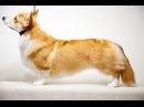 Порода собак - Вельш корги пемброк