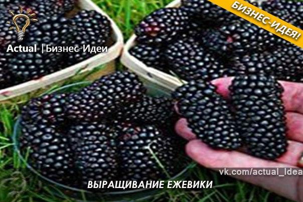 Бизнес выращивание ежевики 37