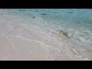 Shark attack in maldives vacation! best house reef for snorkeling 2018!.mp4