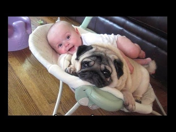 Funniest and Cutest Pug Dog Video Compilation 15