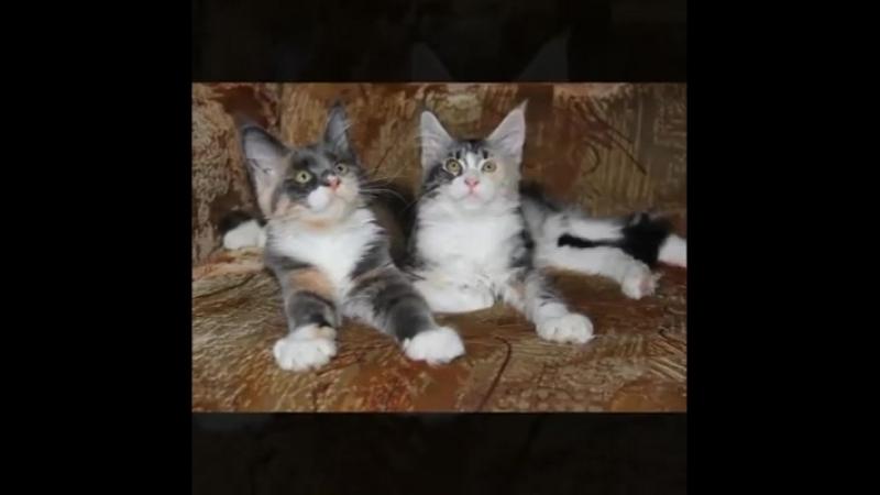 Котята Мейн Кун ПРОДАЖА!