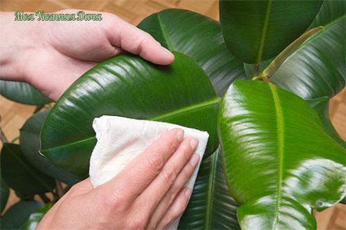 Как правильно мыть комнатные растения