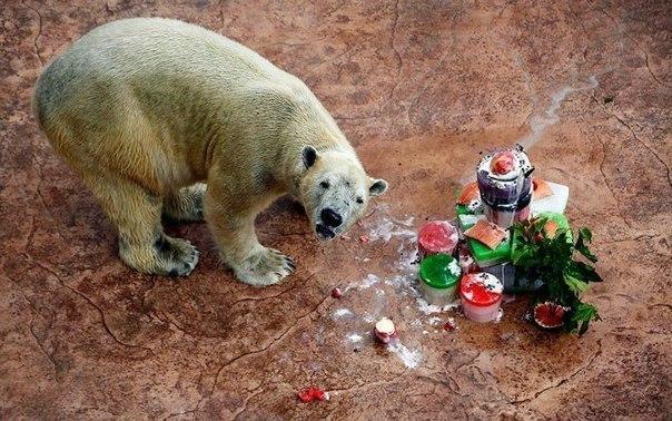 Инука, первый белый медведь, родившийся в тропиках, ест свой торт ко дню рождения в Сингапурском зоопарке. Инука отпраздновал свой 23-й день рождения с тортом, приготовленным из ледяных кубиков с лососем, яблоками, ягодами, взбитыми сливками и стеблем тутового дерева.