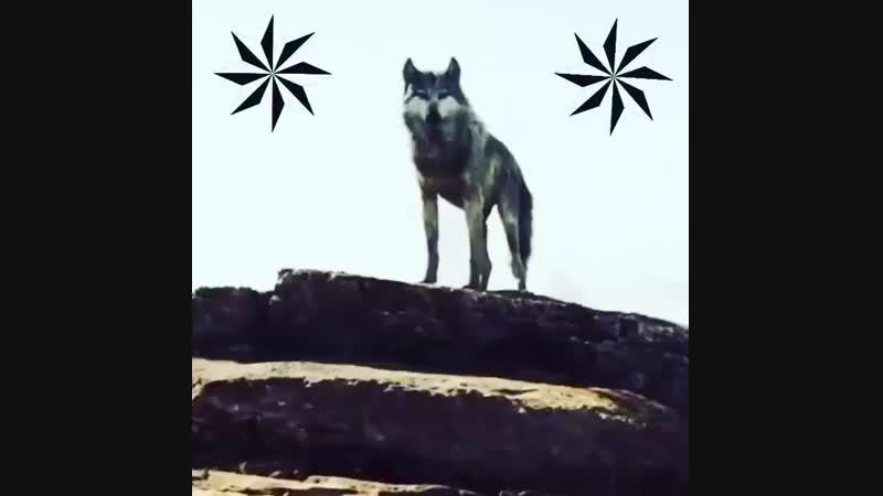 власть шакалов до того как встанет на ногах Волки
