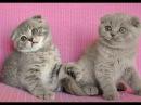 Вислоухая лиловая кошечка Лилиан и котик голубое пятно Ларсен
