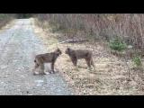 Житель Канады снял на видео как пара рысей орет друг на друга