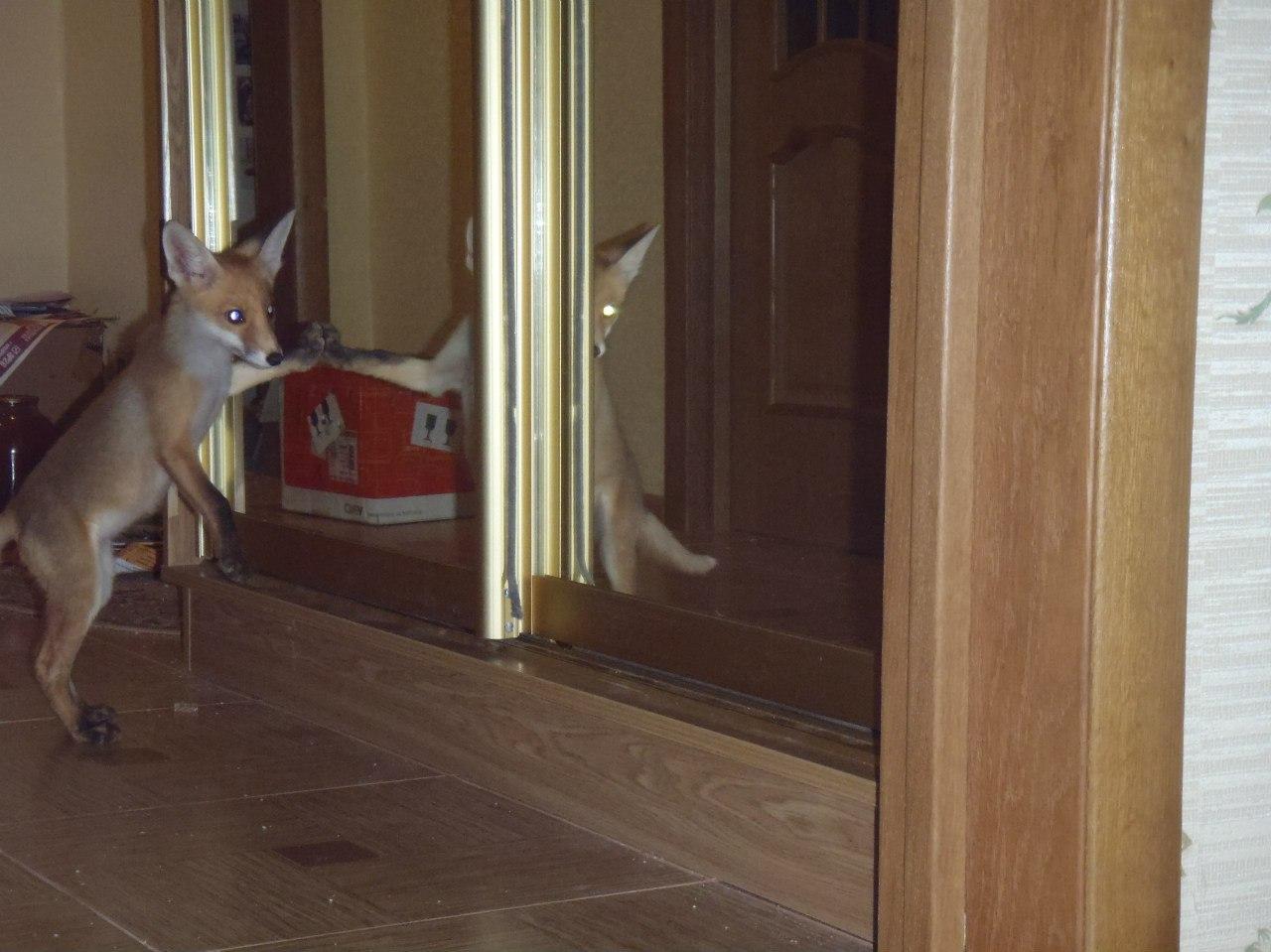 Зеркальная лиса
